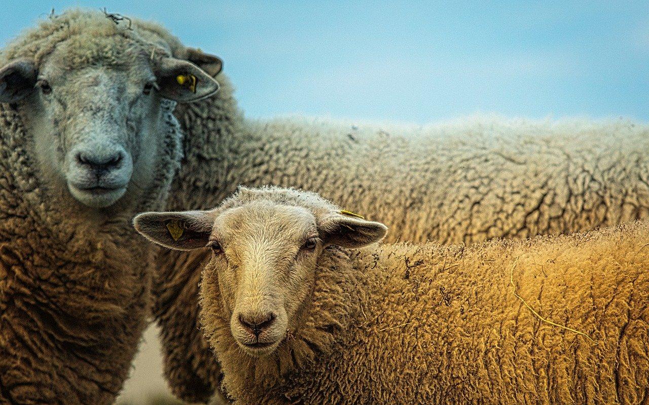 Witte schapenvacht kopen